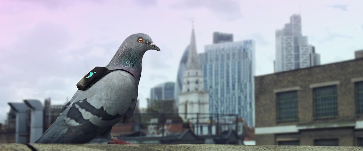 Gołębie z plecakami patrolują miasto