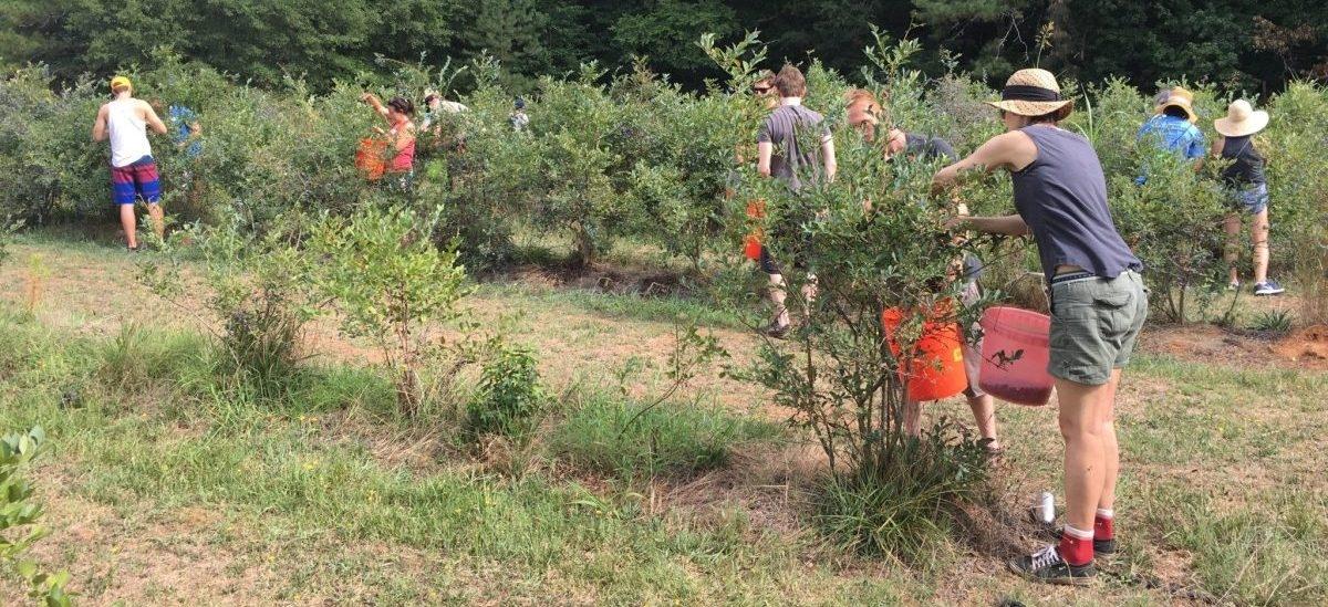 W Atlancie zbierają owoce z miejskich drzew