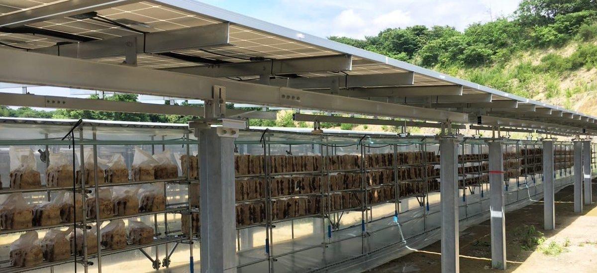 Farma grzybów schowana pod farmą solarną