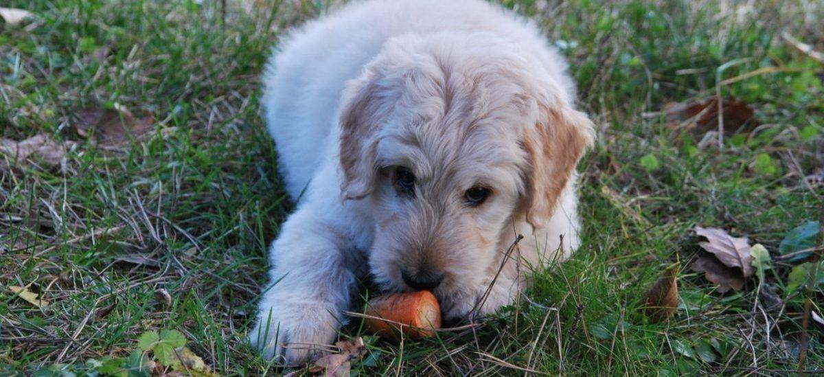 Psy idą na wegańską dietę