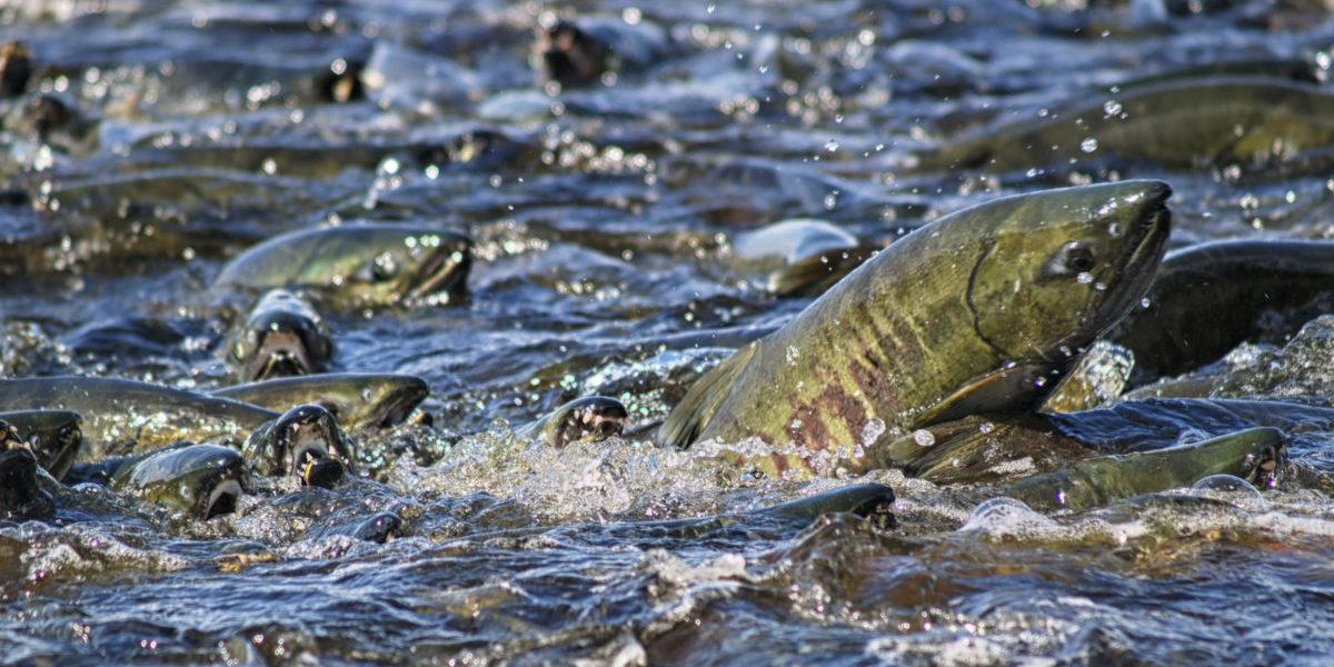Dzięki pomysłowi NASA produkcja łososi stanie się zero-waste